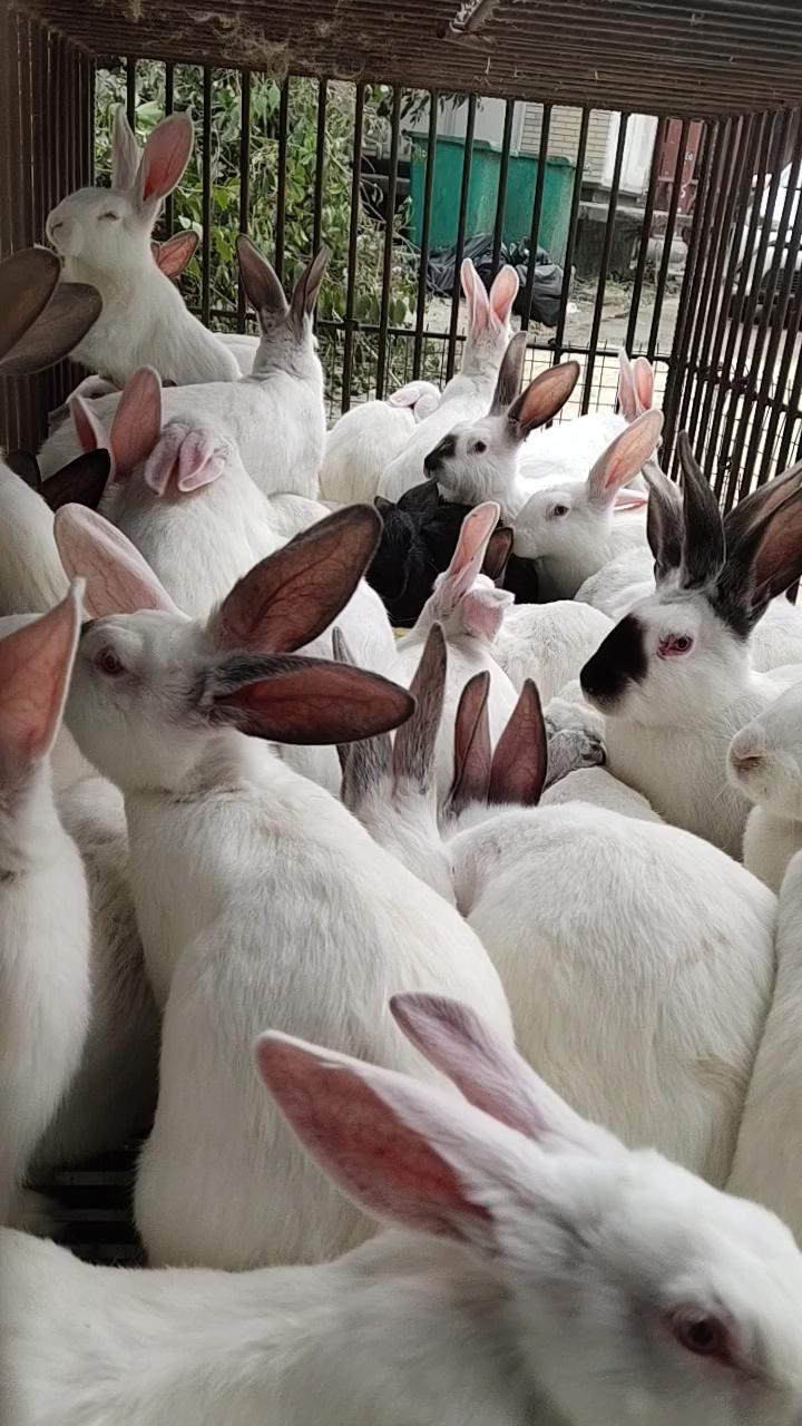 """【兔子的人生】兔子这个东东,比较娇生惯养,稍不留神就会生病。但是我们的祖先,几千年前就发现兔肉具有很高的营养价值,他们认为""""飞禽莫如鸪,走兽莫如兔""""、""""兔肉为羹亦益人""""、""""兔肉辛平无毒,补中益气""""、""""兔肉凉血,解热毒,利大肠""""。给予兔肉很高的评价。现代研究表明,兔肉确实营养丰富,常吃兔肉有利于人的生长发育和身体健康。所以慢慢的就变成了家兔,就变成从出生就为了等待上桌的美食。另外,以下的三个作用也是大家喜欢吃兔子的原因: 1、兔肉能健脑益智 2、兔肉能活血 3、兔肉能延缓衰老       好了,今天拍了一个小视频,看看这些等待进厨房的家伙有多可爱吧!"""
